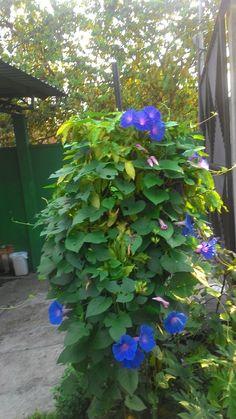 Morning glory - orgulhoso com essa beleza em meu pequeno jardim.