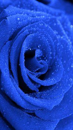 Click the link below for Tech News n Gadget Updates. Royal Blue Wallpaper, Blue Roses Wallpaper, Flower Phone Wallpaper, Blue Wallpapers, Iphone Wallpaper, Beautiful Rose Flowers, Beautiful Flowers Wallpapers, Blue Flowers, Flower Backgrounds