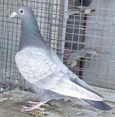 Pigeon Pictures, Homing Pigeons, Pigeon Breeds, Beautiful Birds, Pakistan, Racing, Colours, Fish, House Styles