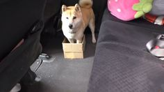 """""""Oh god, I've become huge! I'm outgrowing my bed!""""This video from the Shiba Inu Call Channel (it's Japanese, I don't know) needs no translation. This is fortunate, because I cannot translate the Japan"""
