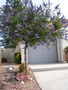 Vitex or Chaste tree is a smaller tree than the other two. None of the three trees are trees that originate from deserts. However, all three will perform in a desert landscape reasonably well. Texas Landscaping, Privacy Landscaping, Landscaping Plants, Front Yard Landscaping, Luxury Landscaping, Landscaping Ideas, Desert Trees, Desert Plants, Desert Willow Tree