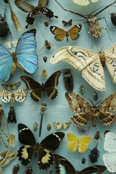 La asquerosa caja de mariposas disecadas, mía.    ---Relato LAS COSAS---