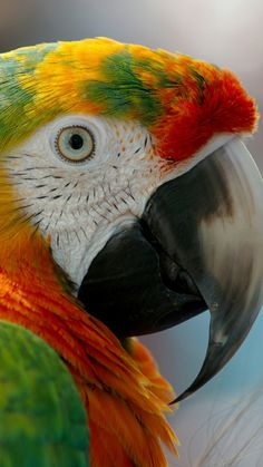 -You can find Exotic birds and more on our website. Tropical Birds, Exotic Birds, Colorful Birds, Exotic Pets, Pretty Birds, Beautiful Birds, Animals Beautiful, Parrot Flying, Puffins Bird