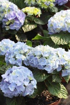 http://nl.123rf.com/photo_6996454_prachtige-blauwe-hydrangea-bush--bigleaf-hortensia-hydrangea-macrophylla.html