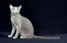 Raça de gato Russo Azul (Foto: Divulgação)