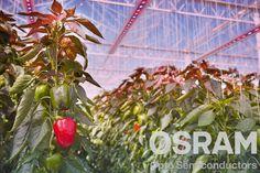 Iluminação para cultivo de vegetais. A Oslon desenvolve led um tipo específico de led azul  que emite uma radiação precisamente de 450 nanômetros, um led vermelho de 660 nanômetros, um ultra vermelho de 730 nanômetros. Estudos apontam que essas faixas de espectro são as mais absorvidas pela maioria das plantas. Estudo ainda aponta que o sistema gera um aumento da fotossíntese, contudo a germinação e a floração continuam lineares.