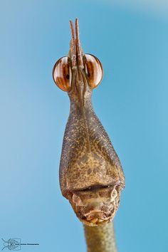 ˚Stick Grasshopper - Proscopidae
