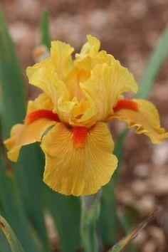 Iris 'Season Ticket'. Iris intermédiaire, parfois remontant, jaune abricot vif à barbe mandarine. Floraison : hâtif à mi-saison. Obtenteur : Gatty 1995.