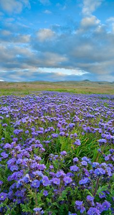 Phacelia under a cloud filled evening sky in Carrizo Plain National Monument of south central California