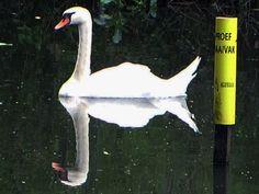 An elegant swan in Odijk by hugodejong35