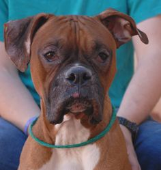 Paolo, an incredibly gentle and well-behaved young Boxer, is dramatically improving and can now debut for adoption at Nevada SPCA (www.nevadaspca.org).  He was surrendered to another shelter with acute inflammation and hair loss from allergies.  We rescued him about two weeks ago and he's been improving daily ever since.  Paolo is 1 year of age, a neutered boy, housetrained, and compatible with cats, dogs, and kids.  Please help find Paolo a lifelong hero.