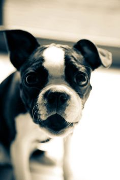 Black and white photography. Boston terrier. Animal photography. Photographic prints on Etsy.