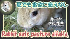 夏でも食欲に衰えなし【ウサギのだいだい 】Rabbit eats pasture alfalfa. 2016年7月5日