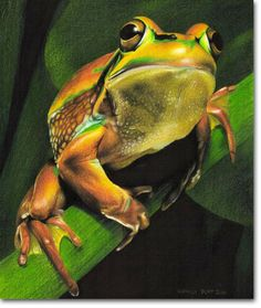 Golden Bell Frog - Photorealistic Pencil Drawing by Kirrily Duff, Australian Artist  - Animal Drawings & Sketches - Original Art available for sale online