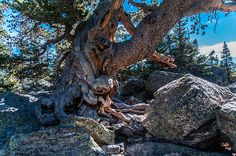 Twisted Pine by Phiiip Esterle