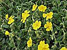 Sonnenröschen - sonnig - relativ trockener Boden
