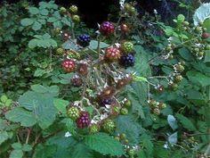 It's Blackberry Season!: Since we're in the midst of prime blackberry season, I recently went blackberry picking!