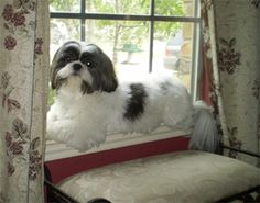 """""""It's official, my new spot!"""" #dogs #pets #ShihTzus Facebook.com/sodoggonefunny"""
