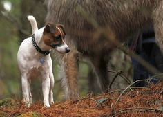 Uther Jack Russell