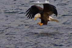 bird – Michigan in Pictures Going Fishing, Fly Fishing, Snug Harbor, Grand Haven, Birds Eye View, Bird Art, Eagles, Bald Eagle, Michigan