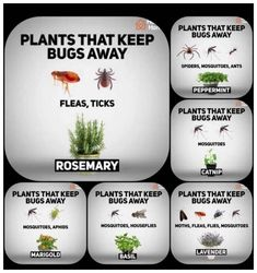 41 fragrant plants that repel mosquitoes 11 ~ vidur net Garden pests, Plants, Garden yard ideas, Bac Catnip Plant, Plant Bugs, Plants That Repel Bugs, Safe Plants For Cats, Poisonous Plants, Garden Yard Ideas, Lawn And Garden, Garden Projects, Indoor Water Garden