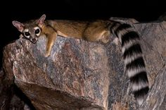 Ring-tailed cat  This mammal is not actually a cat, but rather a member of the Raccoon family, native to the southern parts of North America. They are said to make for affectionate pets who are also highly skilled at catching vermin.