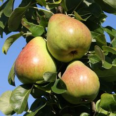 Buy pear pear Obelisk - A space-saving pear tree: quince a (bush): Delivery by Crocus Pear Trees, Fruit Trees, Small Desserts, Green Fruit, Garden Care, Planting Seeds, Fertility, White Flowers, House Plants