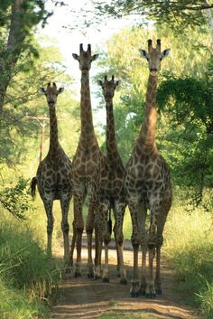 Giraffes....something's going on here......not sure what it is....but they do...