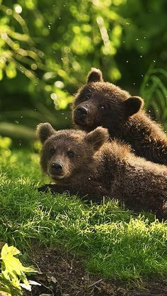 **Bear cubs (KO) Waiting for Mama. Thinking about dinner, naughtiness and nap time. It's what bear cubs do. Nature Animals, Animals And Pets, Baby Animals, Cute Animals, Wild Animals, Fluffy Animals, Mundo Animal, My Animal, Beautiful Creatures