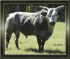 Blueberry Wine--my favorite bull, now retired and living the good stud life