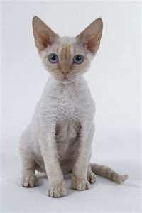 Devon rex cat, my favorite breed.