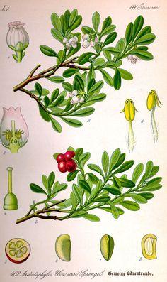 Uva-ursi: Arctostaphylos Uva-Ursi (aka bearberry, Arbutus Uva-Ursi)