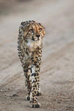 * Photos Cheetah, sur la route en levant ses grands yeux...