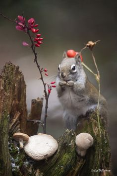 Red hat cap by Andre Villeneuve Hamsters, Rodents, Enchanted, Animals And Pets, Cute Animals, Forest And Wildlife, Walk In The Woods, Woodland Creatures, Red Hats