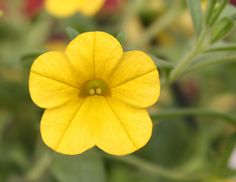 df7957fe1c0e Calibrachoa Million Bells Yellow from Dummen Orange - Year of the  Calibrachoa - National Garden Bureau