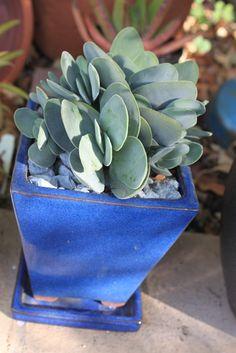 Crassula cephalophora var dubia * Arid's Plants *: