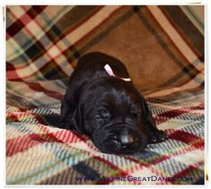 There is historical evidence that similar dogs to the Great Danes were around in Egypt in 3000 B. Black Great Dane Puppy, Great Dane Size, Black Great Danes, Great Dane Facts, Great Dane Funny, Harlequin Great Danes, Puppy Grooming, Best Dogs, Cute Dogs