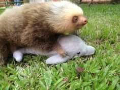Little Sloth's first surfboa--hey, wait a second... (Please donate to the Sloth Sanctuary to help save our sloths!)