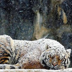Regram @WildlifePlanet Siberian Tiger | Photography by © Ryu Jong soung #naturegeography