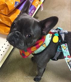 """They're outta my favorite food again"", French Bulldog Puppy"