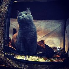 Chartreux the grey beauty! Chartreux Cat, Korat, Russian Blue, British Shorthair, Grey Cats, Cats And Kittens, Blue Grey, Smile, Orange