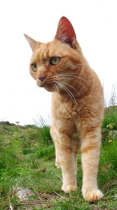We Three, Ginger cats tales - Orange tabby cat