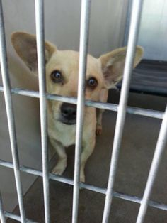 SAFE --- #A473757 SUPER FRIENDLY! 10/9 Avail I am a male, brown Chihuahua - Smooth Coated mix. Shelter staff think I am about 3 years old. I have been at the shelter since Oct 02, 2014.  City of San Bernardino Animal Control-Shelter. https://www.facebook.com/photo.php?fbid=10203679867414790&set=a.10203202186593068&type=3&theater
