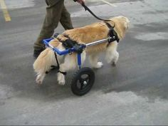 Denali, an 80-pound Golden Retriever mix, is finally getting the exercise she desperately needed, thanks to this wonderful wheelchair from Walkin' Wheels. She lost the use of her back legs, so this 10-year-old beauty is now able to get around like all the other dogs. She took to the wheelchair immediately, and was walking around very easily. Yay, Denali!
