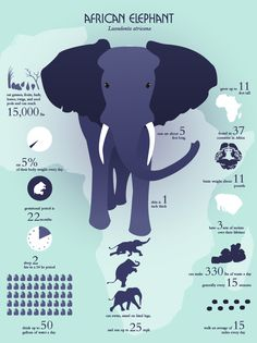 about the African elephant - get students to make an infographic about a topic!Infographic about the African elephant - get students to make an infographic about a topic! Funny Elephant, Elephant Poster, Elephant Love, Indian Elephant, Elephant Quotes, African Elephant Facts, Giraffe, All About Elephants, Elephants Never Forget