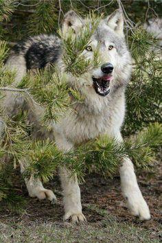 Wolf among evergreens
