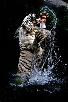 Tiger in the water by Hugo Fonquernie / Tiger Images, Tiger Pictures, Pet Tiger, Tiger Art, Bengal Tiger, Tiger Wallpaper, Animal Wallpaper, Wild Animals Photos, Animals And Pets