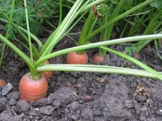 Why Carrots Crack: Tips For Preventing Cracking In Carrots