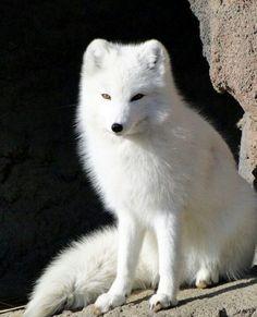 Artic Fox By LeeLee