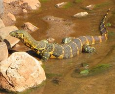 The Nile Monitor (Varanus niloticus), also called Water Leguaan, or River Leguaan, is a large member of the monitor lizard family (Varanidae) Les Reptiles, Reptiles And Amphibians, Mammals, Monitor Lizard, Animals Of The World, Animals And Pets, Dual Monitor, Monitor Stand, Baby Monitor